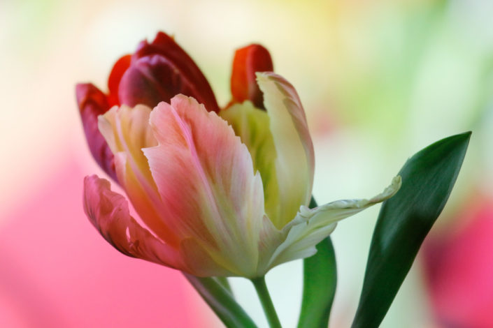 Blume_Gratofafie_141